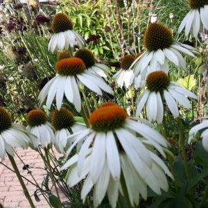 Zonnehoed wit vaste plant