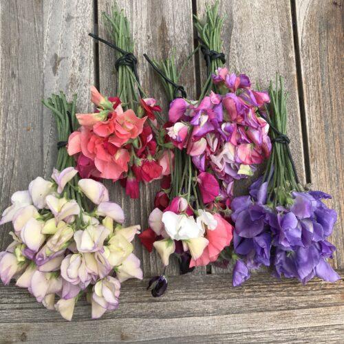 Lathyrus geurende plukbloemen