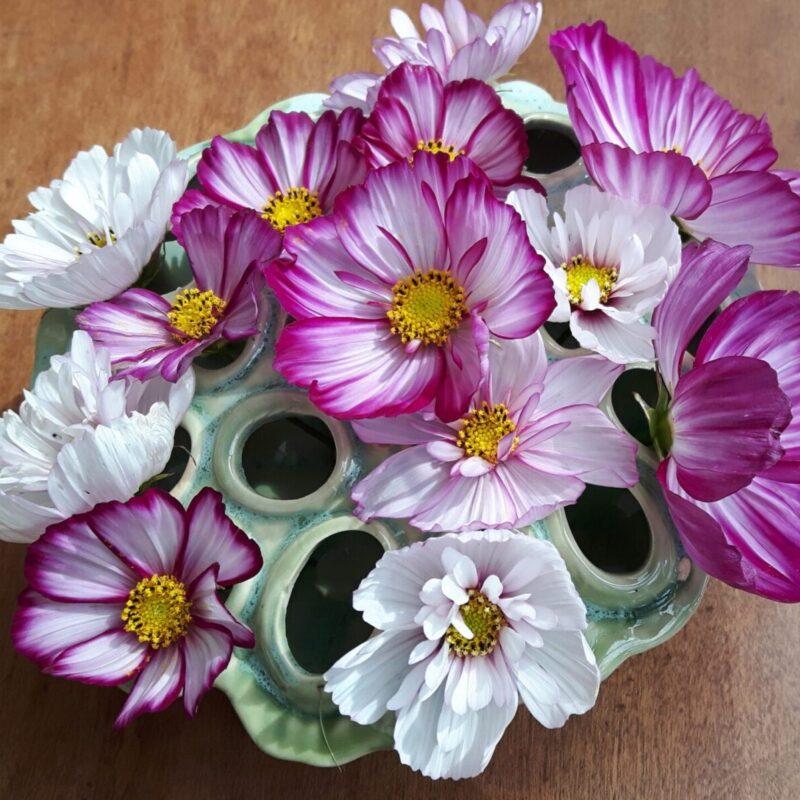 Cosmea plukjebloemen