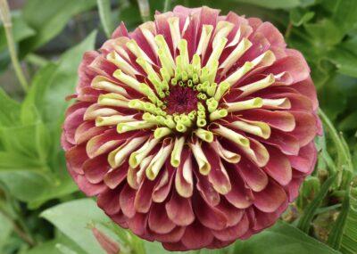 Zinnia plukbloemen